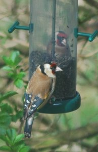 goldfinches love niger