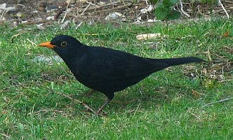 blackbird eating bird seed from the ground